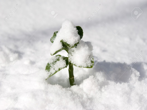 sprout in snow